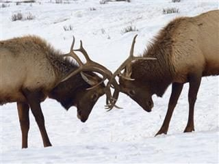 two elk, butting heads