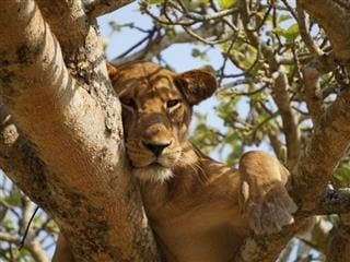 lion in a tree looking calm