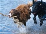 one dog with a stick being chased by another dog through shallow water