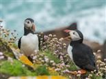 puffins talking to each other