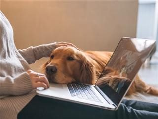 golden retriever rests its head on a laptop