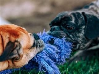Two pug dogs having a tug of war with a chew toy in the grass - Working at odds concept