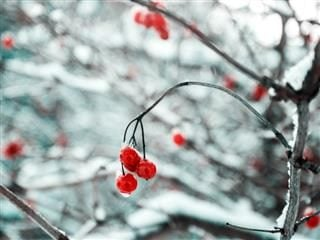 holly berries on frozen branches