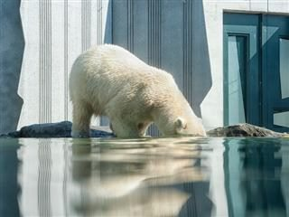 polar bear in a zoo sticking its head underwater