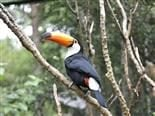 Brightly-colored toucan bird on a tree branch.