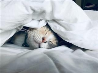 cat asleep under the covers