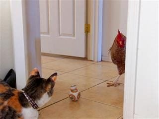 a cat  looking at  a rooster, who  is looking back at  it, with a BB  toy in between