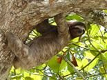 happy sloth in a tree