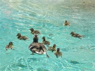 a mother duckling leads her ducklings.