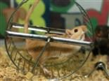 gerbil running on wheel