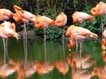 A group of flamingos standing in shallow water.