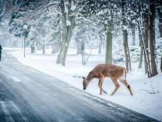 Deer grazing in snow on the side of the road