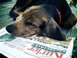A dog rests its head on a newspaper.