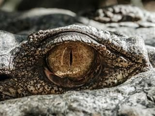 close up of an alligator's eye