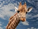 giraffe with a funny facial expression