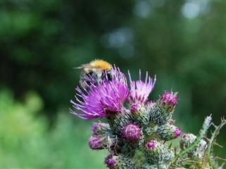 fat bee pollinating a thistle