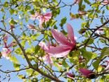 Magnolia tree in full bloom