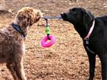 dogs playing with a rope toy