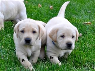 A or B? Which puppy?