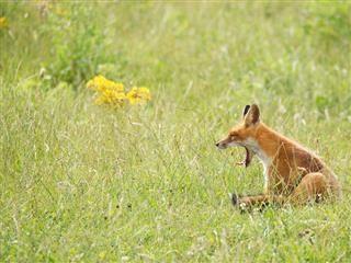 yawning fox sitting in a field