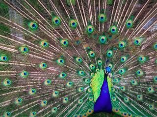 peacock with tail unfurled