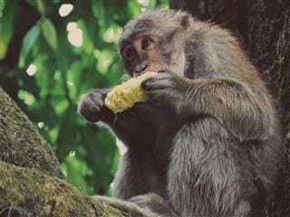 primate in a tree eating corn on the cob
