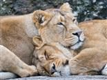 two sleeping lions