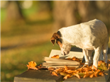 A Jack Russell Terrier dog reading a book on a bench with fall leaves all around - newsbyte concept