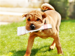 shar pei dog carrying newspaper