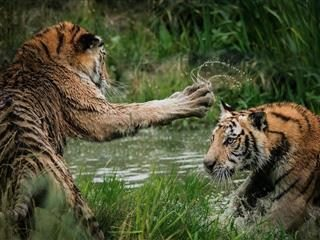two tiger cubs swatting at each other in a swamp