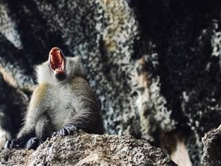 monkey screaming in a cave