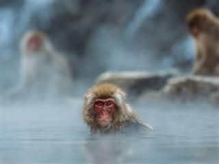 Japanese Macaque monkey submerged in  a hot spring, staring directly at the  camera