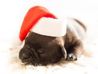 Old English Bulldog, 8 days old with a Santa hat