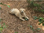 Yellow Lab puppy in the woods