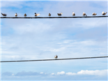 A group of pigeon birds on a wire with one individual in the opposition - individualization personalization concept
