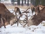 two bucks, clashing horns in the snow