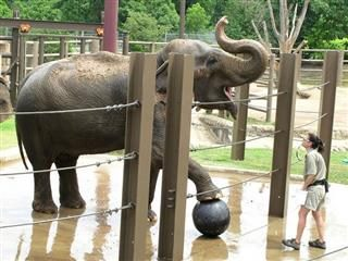 elephant at a zoo with a soccer ball