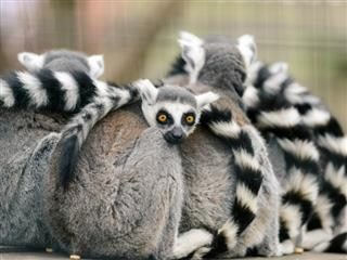 pile of lemurs with long tails