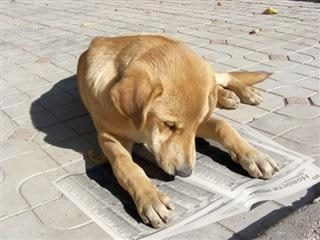 dog laying down and looking at a newspaper.