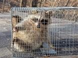raccoon caught in a no kill trap