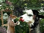 squirrel doing a makeover for a llama