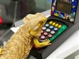 iguana playing video game