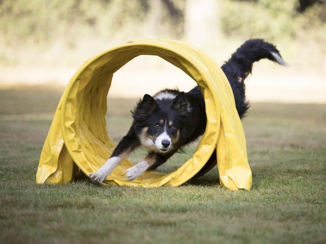 Dog running through a an obstacle shaped like a tube for agility training.