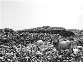 two cows standing in a trash dump. yes, we recognize the irony of using an image for this post