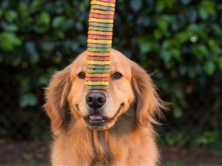 A Golden Retriever dog balancing dog cookies on his nose