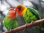 parrots beaks touching