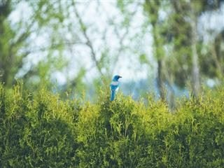 blue bird in a bush