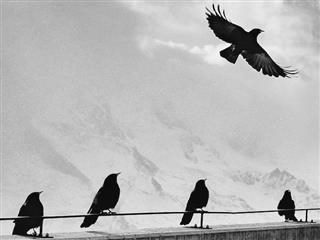 crow in flight as four other crows look on