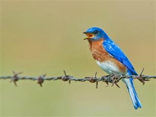 blue bird on barbed wire