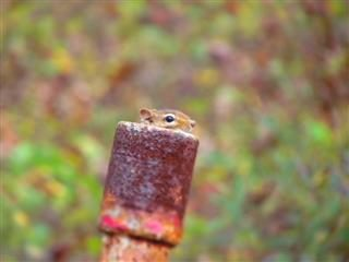 squirrel head emerging from a copper pipe